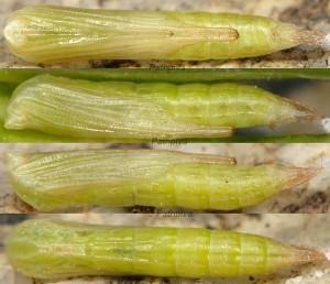 Stenoptilia coprodactylus chrysalide 06 1