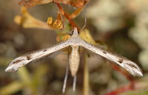Stenoptilia gibeauxi 2B 2