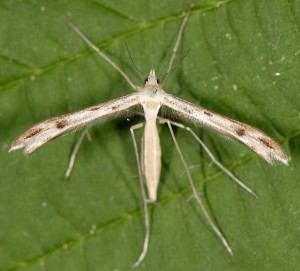 Stenoptilia gibeauxi 2B 3