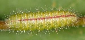 Stenoptilia gibeauxi L5 3