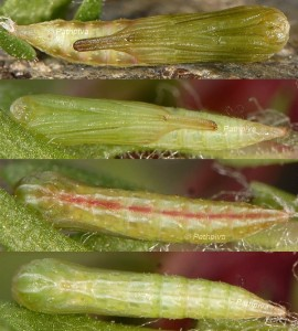Stenoptilia gibeauxi chrysalide 2B 1