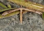 Stenoptilia grisescens 06 1