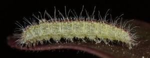 Stenoptilia grisescens