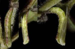 Stenoptilia grisescens chrysalide 06 2