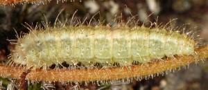 Stenoptilia islandicus L5 1