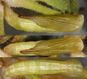 Stenoptilia islandicus chrysalide 06 1