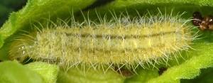 Stenoptilia lucasi L4 05