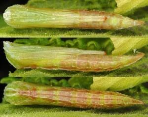 Stenoptilia lucasi chrysalide 05 1