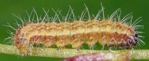 Stenoptilia millieridactylus L5 83 2