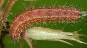 Stenoptilia millieridactylus L5 83 6