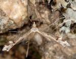 Stenoptilia millieridactylus mâle 83 2