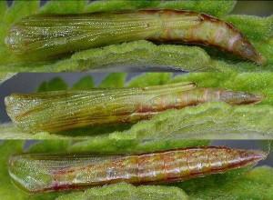 Stenoptilia nepetellae chrysalide 04