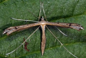 Stenoptilia plagiodactylus 06 3