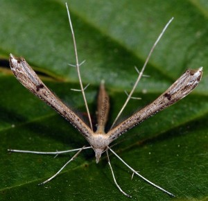 Stenoptilia plagiodactylus 06 4