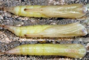 Stenoptilia plagiodactylus chrysalide 06 1