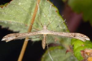 Stenoptilia zophodactylus 06 1