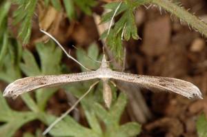 Stenoptilia zophodactylus 06 2