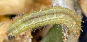 Stenoptilia zophodactylus L5 13 1