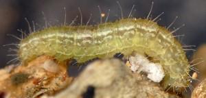 Stenoptilia zophodactylus L5 13 3