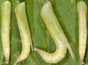Stenoptilia zophodactylus chrysalide 13 1