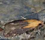 Stomopteryx basalis (i, G)