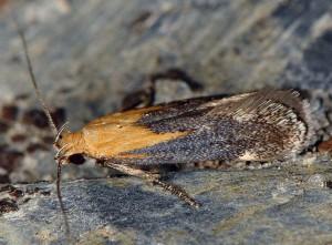 Stomopteryx basalis 2