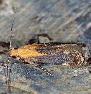 Stomopteryx basalis 3