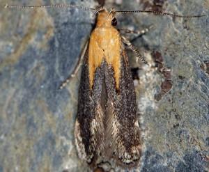 Stomopteryx basalis 4