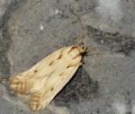 Stomopteryx detersella (I)
