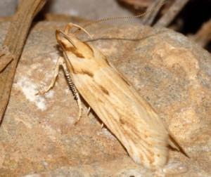Stomopteryx detersella 5