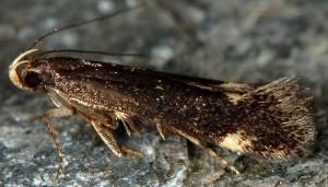 Stomopteryx flavipalpella 3