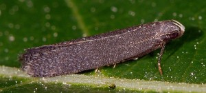 Stomopteryx hungaricella 2