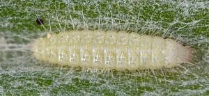 Tabulaephorus punctinervis L2 06 1