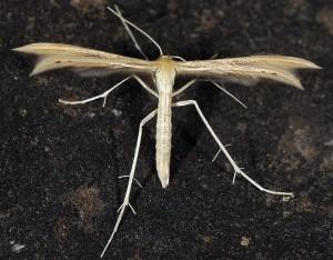 Tabulaephorus punctinervis
