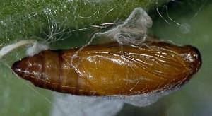 Tebenna micalis chrysalide 2A 2