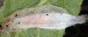 Tebenna micalis cocon 2A