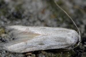 Tecmerium anthophaga 2B 1