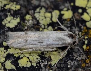 Tecmerium anthophaga 2B 2