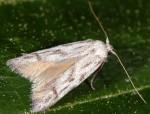 Tecmerium anthophaga (I, L5)
