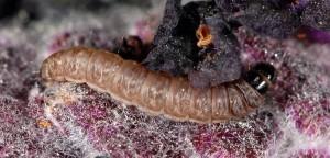 Tecmerium anthophaga L5 06 2
