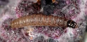 Tecmerium anthophaga L5 06 3
