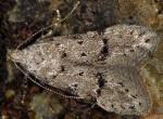 Teleiodes italica (I)