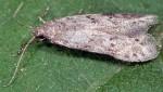 Teleiodes wagae (I, G)