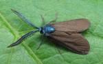 Theresimima ampellophaga (I)
