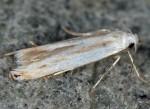 Thiotricha majorella (I)