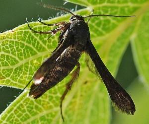 Tinthia tineiformis 84