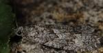 Zeiraphera griseana 06 6