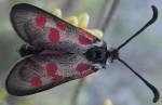 Zygaena corsica (I, L5, P)