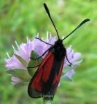 Zygaena purpuralis 1