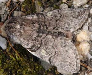 Achlya flavicornis 06 1
